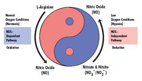Nitric-Oxide-Pathways